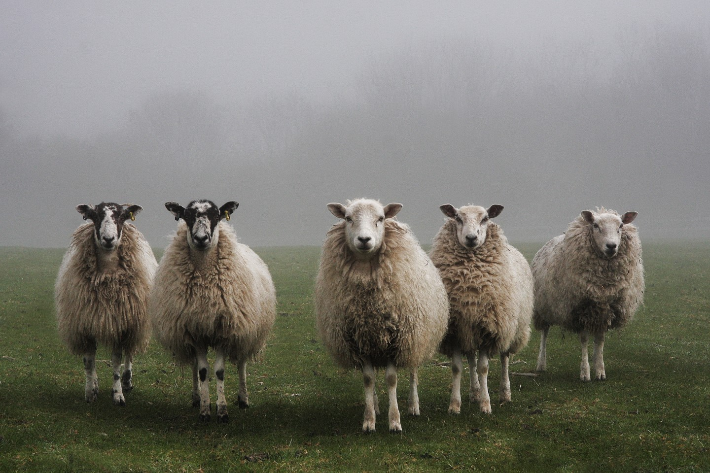 Sheep standing in a line